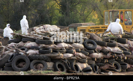 Outbreak of African swine fever in South Russia - Stock Photo