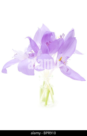 Crocus flowers isolated on white - Stock Photo