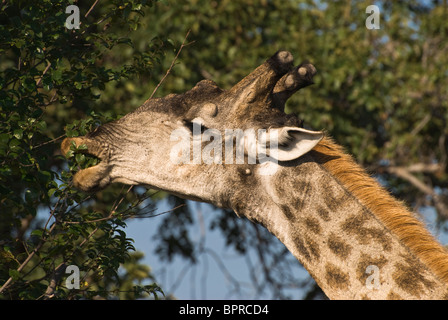 Adult male Angolan Giraffe (Giraffa camelopardalis angolensis) browsing in close-up in Mosi-Oa-Tunya National Park, - Stock Photo