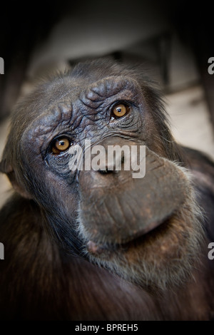 Sad looking monkey in captivity in a zoo in England Stock Photo
