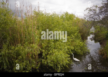 Great Egret (Ardea alba) in Everglades National Park, Florida. - Stock Photo