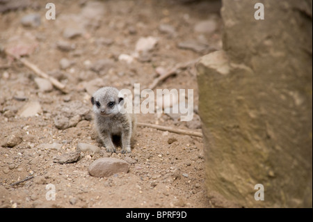 Very young meerkat pup (suricata suricatta) sitting on the ground. - Stock Photo