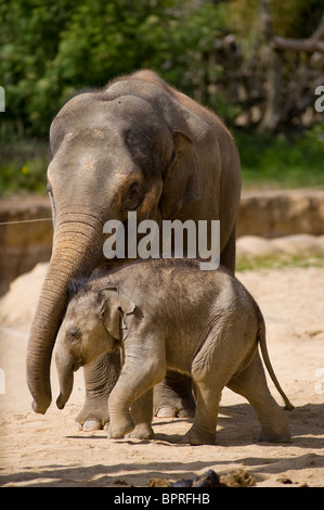 Young asian elephant calf (elephas maximus) with it mother in captivity at Tywcross Zoo, Leicestershire, England - Stock Photo