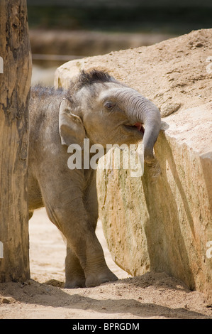 Young asian elephant calf (elephas maximus) in captivity at Tywcross Zoo, Leicestershire, England - Stock Photo