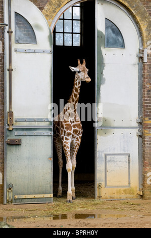 young giraffe at london zoo, england - Stock Photo