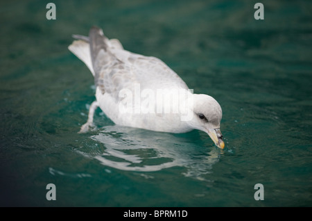 Northern Fulmar (Fulmarus glacialis) Excreting salt, Bear island, Barents Sea, Norway - Stock Photo