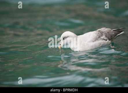 Northern Fulmar (Fulmarus glacialis) Drinking, Bear island, Barents Sea, Norway - Stock Photo