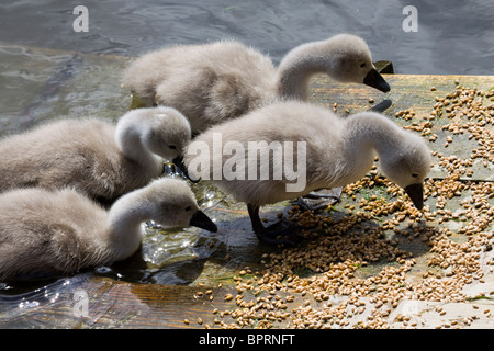 Four newly born cygnet mute swans feeding - Stock Photo