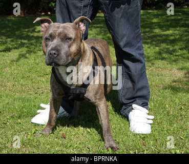 A Staffordshire Bull Terrier. - Stock Photo