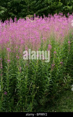 Rosebay Willowherb, Epilobium angustifolium, Onagraceae - Stock Photo