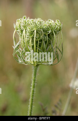 Wild Carrot aka Bishop's Lace or Queen Anne's Lace, Daucus carota, Apiaceae - Stock Photo