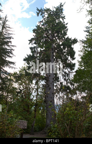 coastal sitka spruce - photo #19