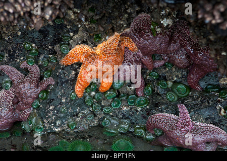 Orange and purple Ochre Sea Stars (Pisaster ochraceus) attached to the base of a sea stack, Ruby Beach, Olympic - Stock Photo