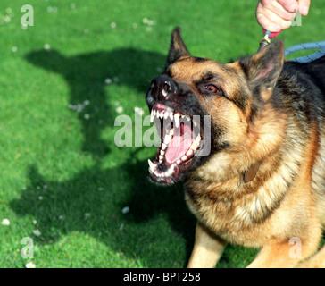 Guard dog,  Alsation, aggressive dog, Alsation guard dog barking and straining at the leash - Stock Photo