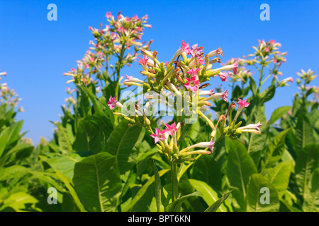 Tobacco plants with leaves, flowers and buds - Stock Photo
