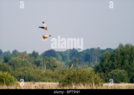 Pair of male Marsh Harriers over Norfolk reedbed - Stock Photo