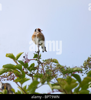 Female Goldfinch perched on Elderberry Bush in Norfolk - Stock Photo