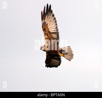 Juvenile Marsh Harrier in flight over Norfolk - Stock Photo
