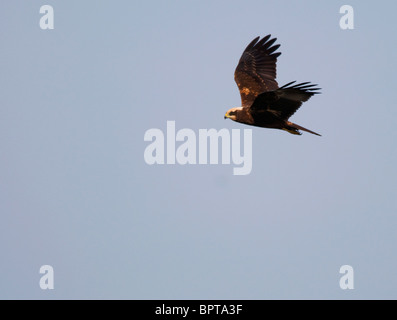 Female Marsh Harrier in flight over Norfolk - Stock Photo