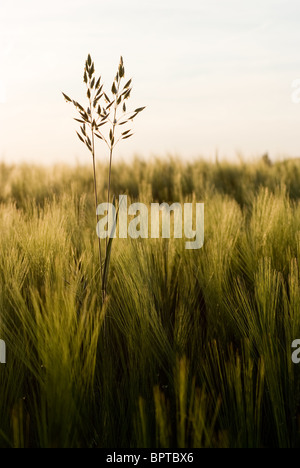 Grass in front of a field with wheat during a warm summer afternoon - Stock Photo