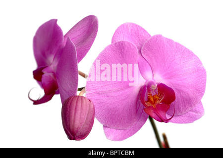 A collection of pink Phalaenopsis (moth orchid) blooms - Stock Photo