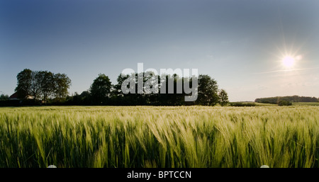 A field with wheat, trees in background. late, warm summer afternoon. - Stock Photo