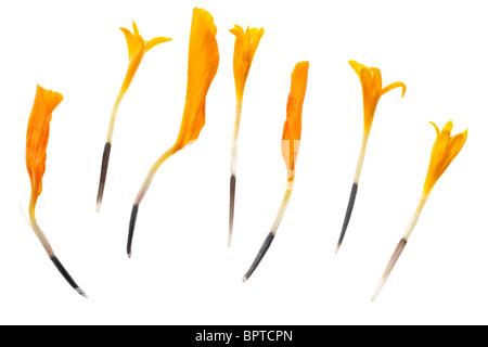 Seven marigold seeds