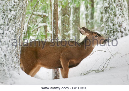 A black-tailed deer (Odocoileus hemionus) tries to find food in the snow-covered forest in Mount Rainier National - Stock Photo