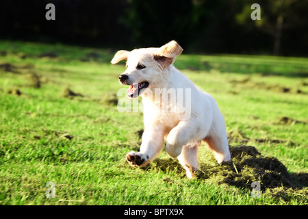 Golden retriever puppy running and jumping in the grass - Stock Photo