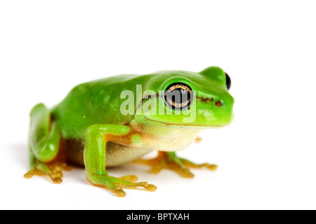 Little tree-frog on white background - close-up
