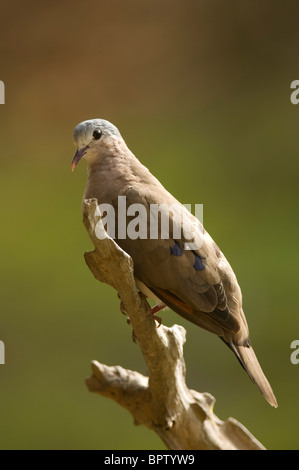 Blue-spotted wood dove ( Turtur afer), Abuko Nature Reserve, the Gambia - Stock Photo