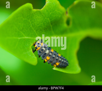 Larva of 7 spot Ladybird (Coccinella Coccinella septempunctata), France - Stock Photo