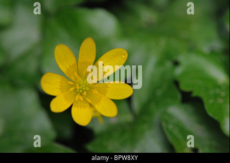 Lesser celandine - Fig buttercup - Pilewort (Ranunculus ficaria - Ficaria verna) - Flowering in early spring - Stock Photo