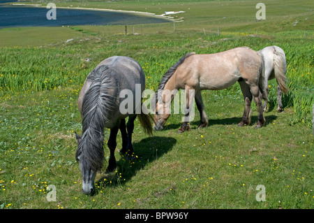 Eriskay Ponies on  Barra, Outer Hebrides, Western Isles, Scotland.  SCO 6532 - Stock Photo
