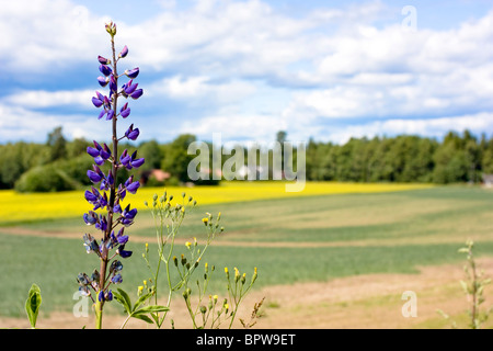 Scenic view of a purple Lupin (Lupinus) growing in Nevlunghamn, Norway. - Stock Photo