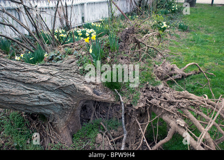uprooted tree aftermath of March wind storm - Stock Photo