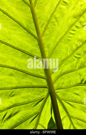 Sun shining through the giant leaf of an alocasia macrorrhizos plant - Stock Photo