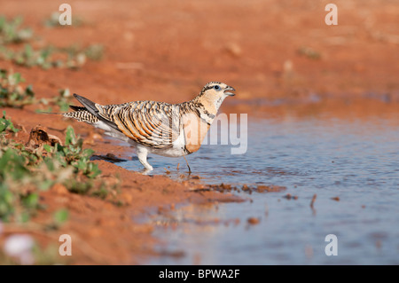 Sandgrouses (pterocles alchata) coming to drink from a waterhole in the Central Spanish steppes during the summer. - Stock Photo