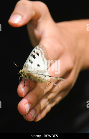 Parnassius apollo is in Southern Europe confined to high mountain areas mostly in the Pyrenees where it was confined - Stock Photo