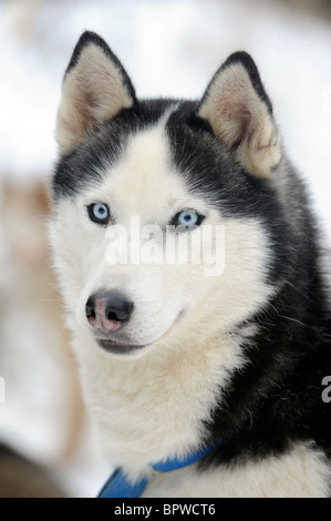 Alaskan Malamute sled pulling dog in the snow - Stock Photo