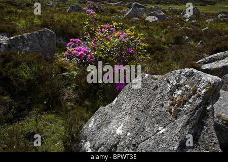 Rhododendron Flowers ( Rhododendron ponticum ), Connemara County Galway Ireland - Stock Photo