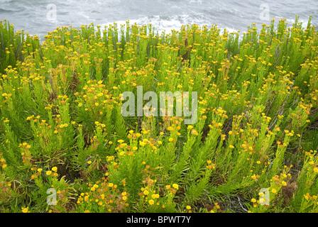 Golden samphire (Inula crithmoides) - Stock Photo