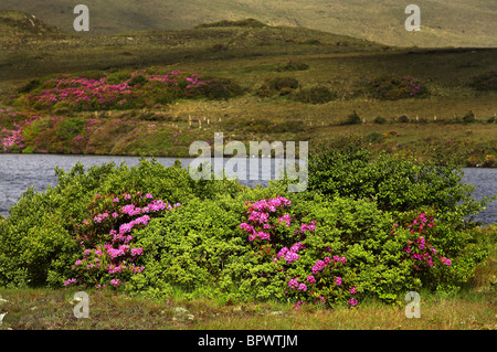 Common Rhododendron Flowers ( Rhododendron ponticum ) County Mayo Ireland - Stock Photo