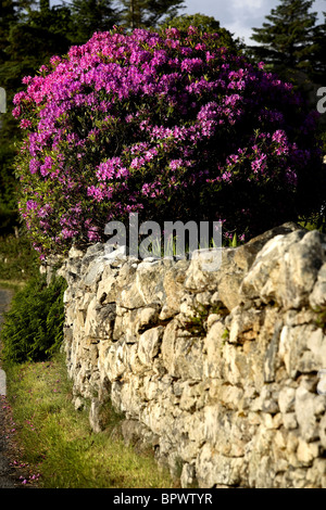 Rhododendron Flowers ( Rhododendron ponticum ) County Galway Ireland - Stock Photo