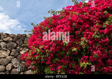 dh Bougainvillea FLORA LANZAROTE Purple red flowering Bougainvillea bush bloom plant