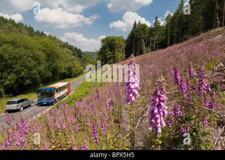 COACH AND 4X4 ON ROAD IN FOREST OF DEAN WITH FOXGLOVES IN FOREGROUND - Stock Photo