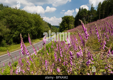 CAR ON ROAD IN FOREST OF DEAN WITH FOXGLOVES IN FOREGROUND - Stock Photo