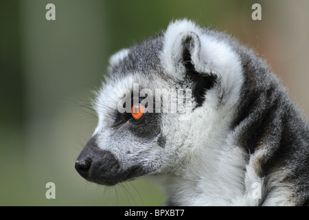 Captive Ring Tailed Lemur (Latin name: Lemur catta), photographed at Drusilla's Park, East Sussex, England. - Stock Photo
