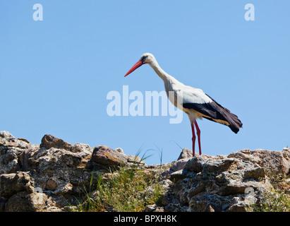 near Navalmoro de la Mata, Caceres Province, Extremadura, Spain. White stork. Ciconia ciconia. - Stock Photo