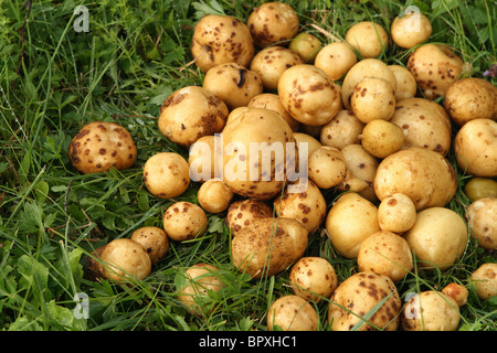 Many new potatoes in green lawn. - Stock Photo